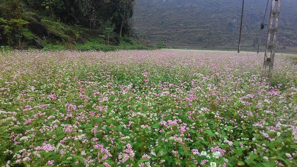 Vườn hoa tam giác mạch ở xã Thải Phìn Tủng Hà Giang