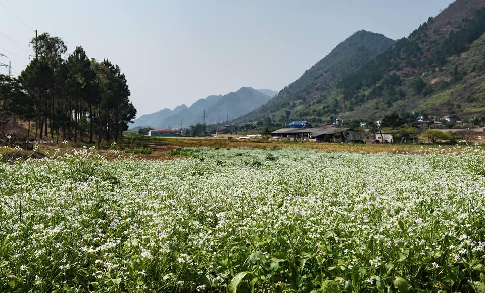 Du lịch Mộc Châu tháng 11, ngất sắc cảnh hoa cải trắng, dã quỳ vàng