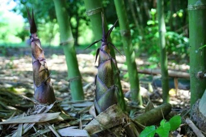 Mùa măng rừng ở Tây Bắc bắt đầu vào khoảng tháng 8 hàng năm