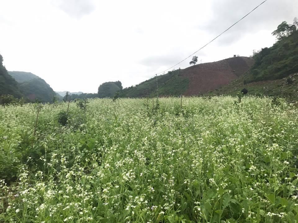 Mùa hoa cải trắng Tây Bắc vào khoảng tháng 11 hàng năm